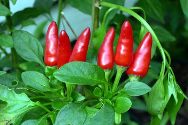 Sigaretta Calabrese: peperoncino piccante che fa dimagrire. Quali proprietà?