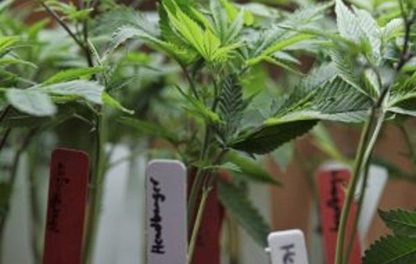 Marijuana legale in Italia: dove acquistare i vasetti di cannabis Easy Joint?