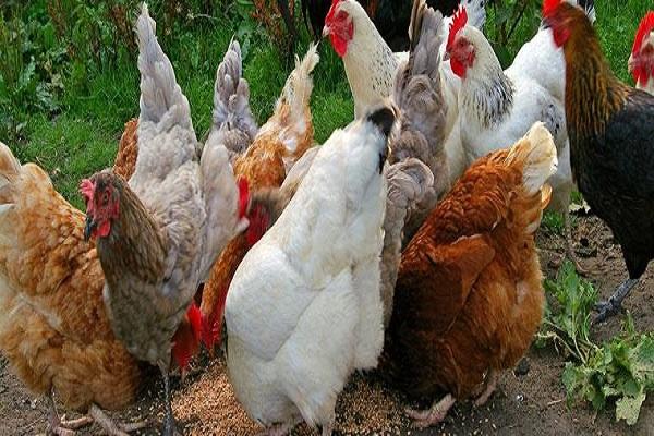 Allarme aviaria trovati focolari anche in Piemonte