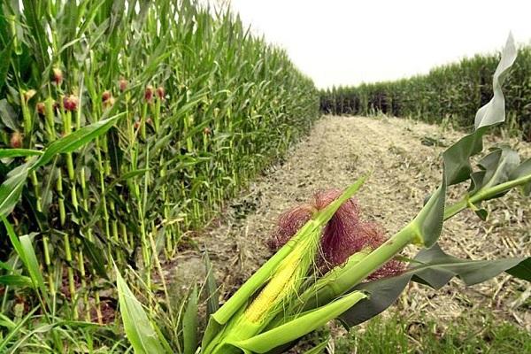 Mais OGM non è nocivo, ci sono le prove