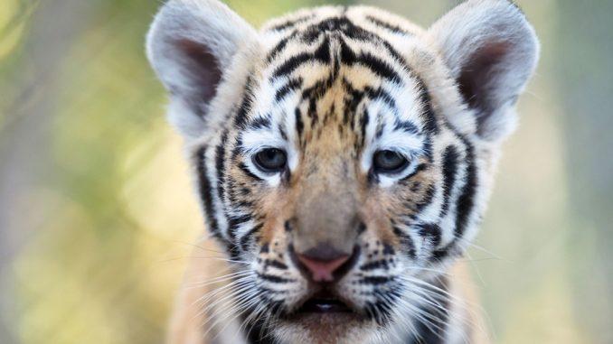 Cucciolo di tigre sedato e spedito in un pacco postale FOTO