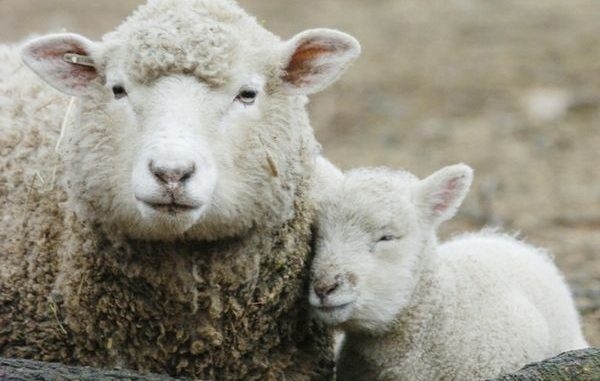 Creato il primo embrione ibrido pecora-uomo Video