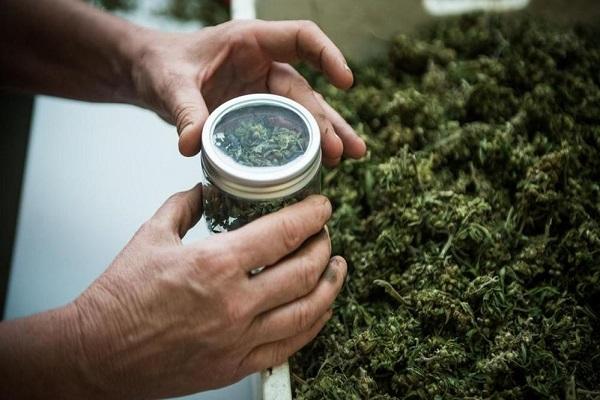 Cannabis legale per uso terapeutico? Ecco la verità