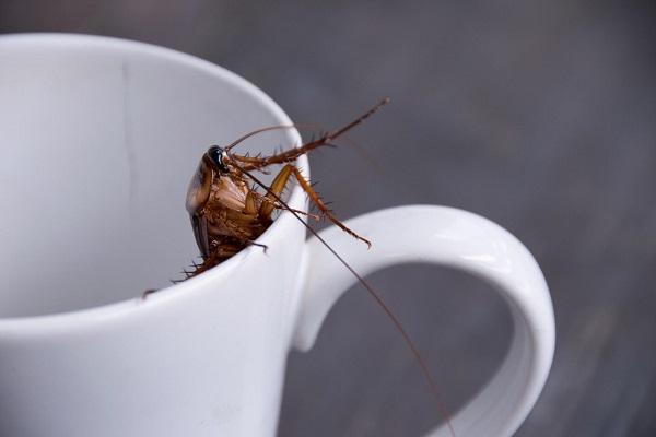 Latte di scarafaggio scoperta: meglio del latte di mucca