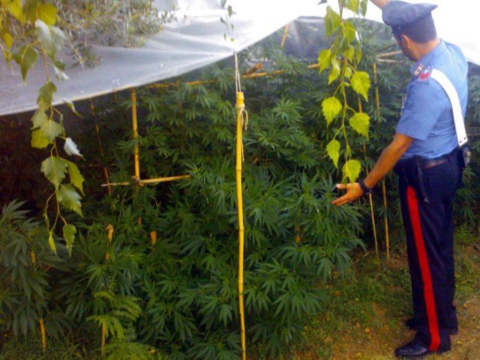Google Maps identifica piantagioni di marijuana: incastrato coltivatore