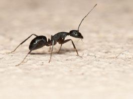 formiche-casa-giardino-rimedi-naturali